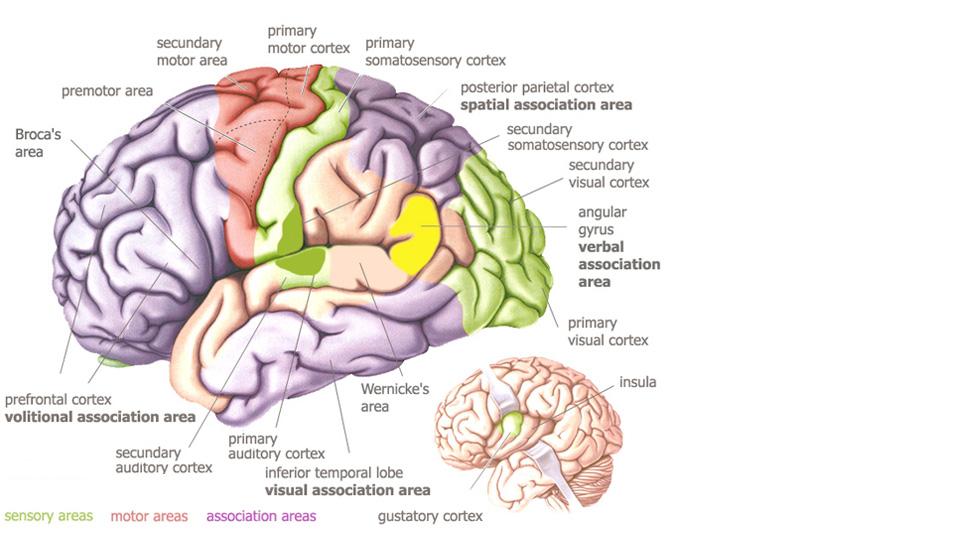 Brain areas – Alzheimer\'s & Dementia Resource Center